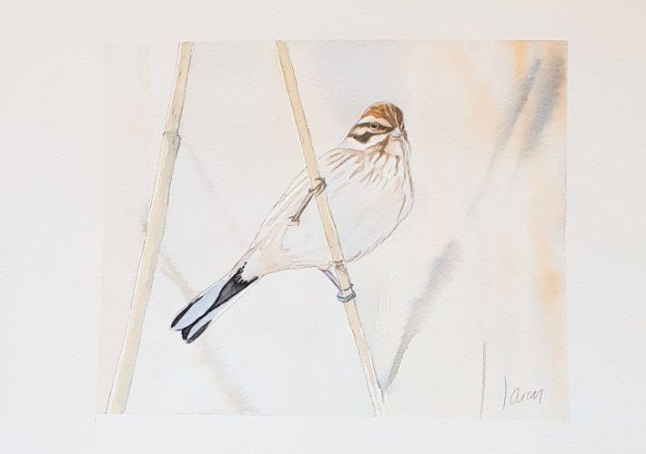 Escribano palustre (Emberiza schoeniclus lusitanicus)