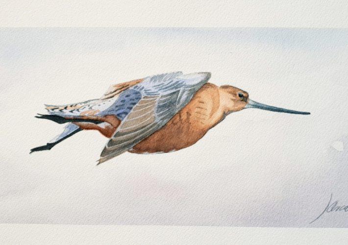 Aguja colipinta en vuelo.