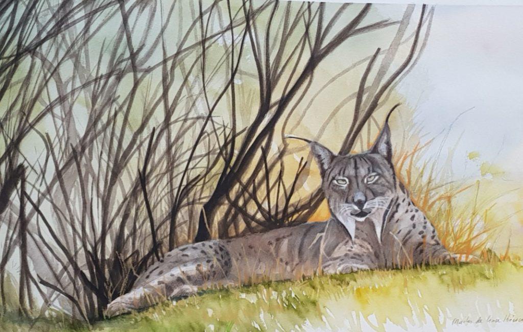 Lince Iberico (Lynx pardinus).