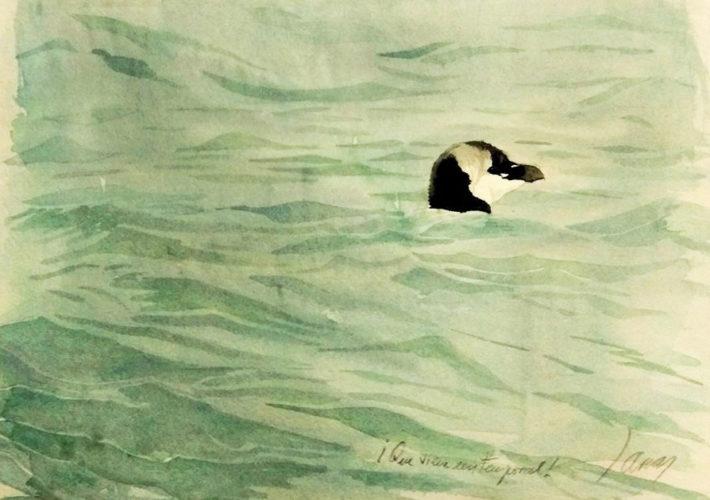 Cuaderno de campo de las Islas Cíes. Alca (Alca torda)