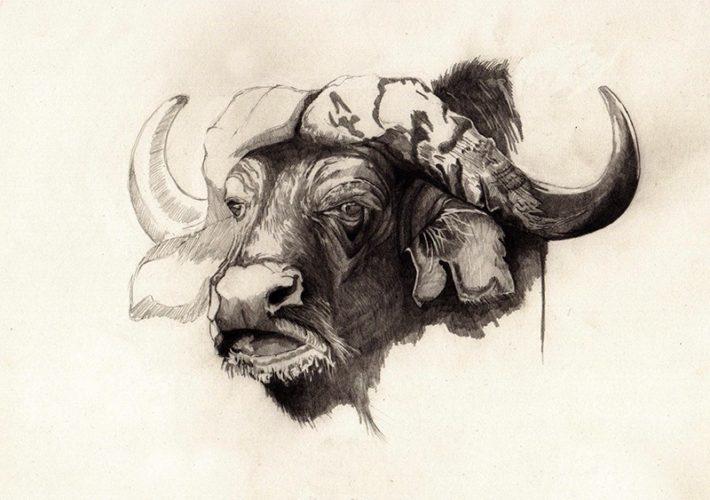 Búfalo africano.