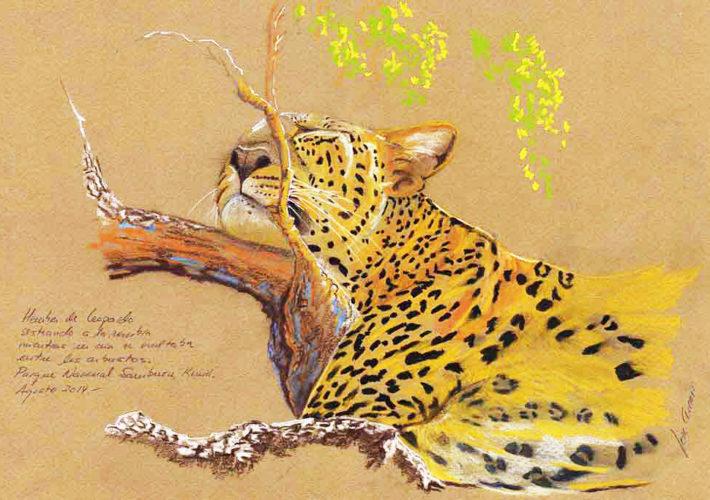 Leopardo sesteando. P. N. Samburu, Kenia