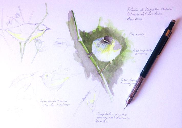 Cuaderno de campo de las Islas Cíes. Mosquitero musical (Phylloscopus trochilus)